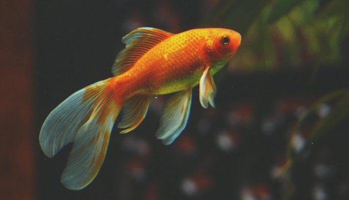 aufmerksamkeitsspanne Goldfisch
